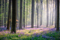 Bluebell flower carpet in Hallerbos forest, Belgium
