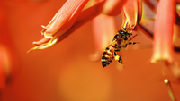 Bee pollinating orange aloe flower