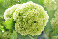 Bright green hydrangea flower in bloom