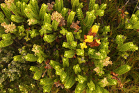 Close-up view of succulent plant, Fiordland National Park, New Zealand