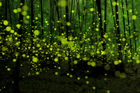 Swarm of fireflies in bamboo forest, Japan