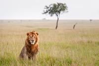 Lion sitting on grass, Masai Mara, Kenya