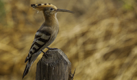 Side view of woodpecker sitting on wire fence, Tarquinia, Italy