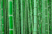 Green bamboo forest, Arashiyama, Kyoto, Japan