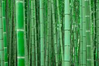 Green bamboo forest, Arashiyama, Kyoto, Japan
