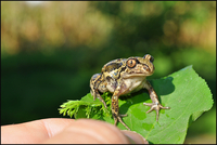 Hand holding frog on leaf