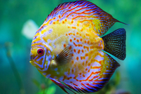 Multicolored discus (Symphysodon) fish, Phoenix, Arizona, USA