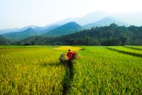 Man walking through field, Mai Chu, Ha Bnh, Vietnam
