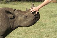 Human hand petting young black rhino, Republic of South Africa