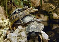 Turtles and small crocodile