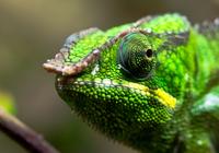 Panther chameleon (Furcifer pardalis), Nuremberg, Bavaria, Germany