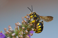 Wasp sitting on lavender flower