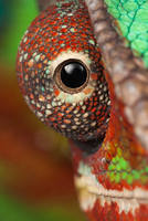 Close up of chameleons eye