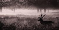 Silhouette of deer in foggy meadow, London, England, UK