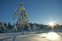 Tree covered with snow, Baerumsmarka, Norway