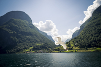 Seagull flying over sea between mountains, Norway