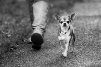 Tiny dog walking alongside woman