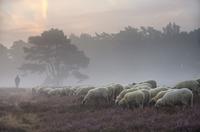 Flock of grazing sheep, Brunssum, Netherlands