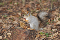Grey squirrel eating acorn