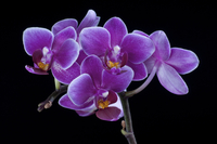 Purple orchid flower in bloom against black background