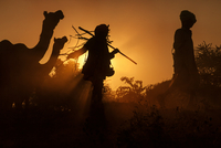 Silhouettes of two boys (13-15) and camels walking against sunset, Pushkar, Rajasthan, India