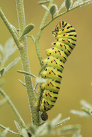 Caterpillar of Old World swallowtail (Papilio machaon), Israel