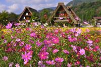 Pink wildflowers in old village, Japan