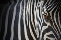 Close up of zebra, Italy