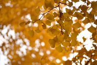 Yellow ginkgo tree autumn leaves, Tokyo, Japan