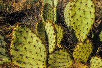Opuntia cactus on desert, Arizona, USA