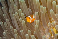 Clownfish and nudibranch by anemone, Komodo National Park, Lesser Sunda Islands, Indonesia