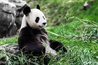 Giant panda (Ailuropoda melanoleuca) eating bamboo