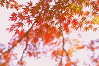 Orange tree leaves against sky, Kamakura, Kanagawa Prefecture, Japan