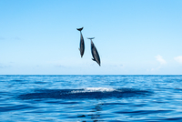 Dolphins jumping above water, Ponta Delgada, Azores, Portugal