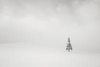 Lone spruce tree in winter landscape, Furano, Hokkaido, Japan