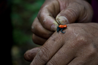 Close-up of man's hands holding frog, Peru