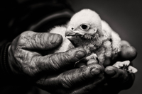 Studio shot of man's hands holding young falcon on black background