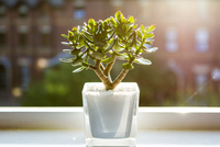 Bonsai tree growing in flower pot by window