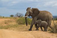 Two elephants walking in savannah, Tanzania