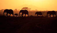 Silhouettes of elephants (Loxodonta africana) walking on savannah, Amboseli National Park, Kenya