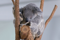 Koala sleeping on branch, Lone Pine Koala Sanctuary, Brisbane, Australia