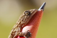 Close-up of gecko lizard on pencil