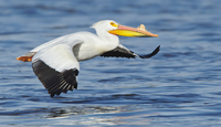 Flying pelican (Pelecanidae) holding fish
