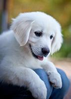 Golden retriever puppy, Brisbane, Australia