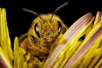 Extreme close-up of honey bee (apis mellifera)