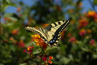 Close-up of Swallowtail Butterfly (papilio machaon), Algarve, Portugal