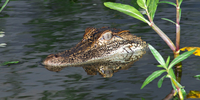 American alligator (Alligator mississippiensis) with head sticking out of water, Texas, USA