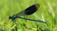 Beautiful demoiselle (Calopteryx virgo) on the meadow