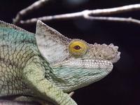 Jacksons Chameleon (Trioceros Jacksonii) looking at camera