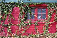 Ivy on red house